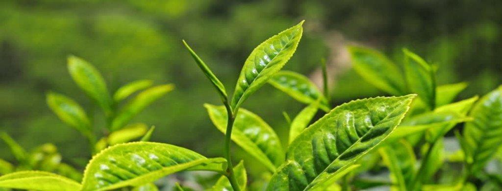 tea tree oil won't kill Demodex | Ungex