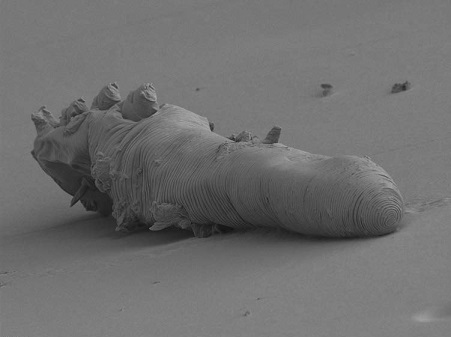 Demodex-mite -dead