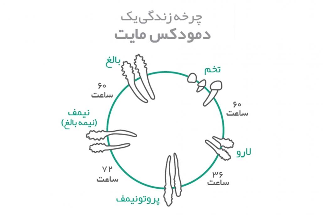 چرخه زندگی دمودکس مایت | آنجکس