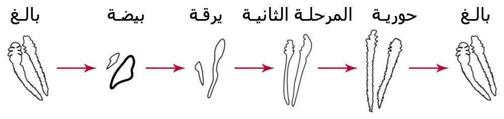 lifecycle-of-Demodex-arabic