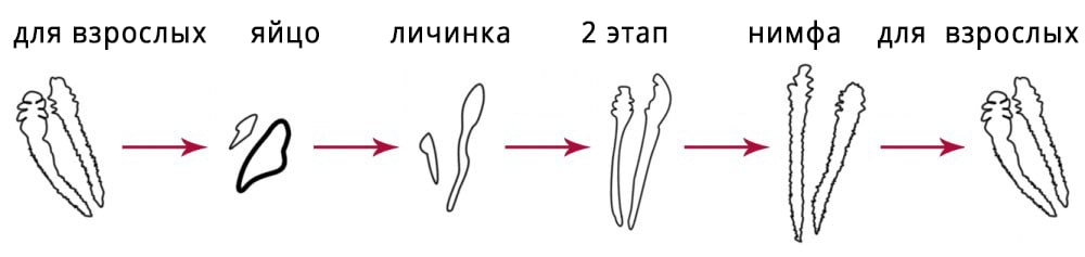 lifecycle-of-Demodex